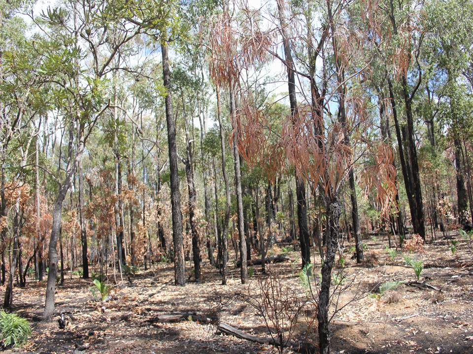 Results of a low intensity prescribed burn in jarrah forest (photo: Neil Burrows)