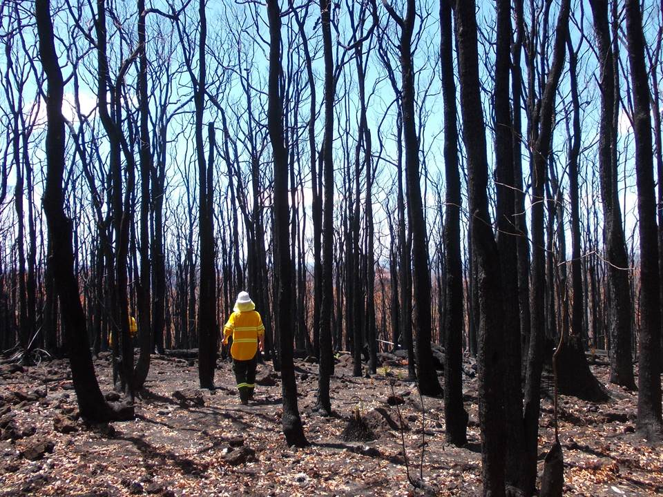 Aftermath of a wildfire in long unburnt jarrah forest, Western Australia (photo: Neil Burrows)