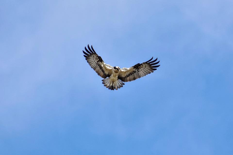 Osprey (image by Pixabay)